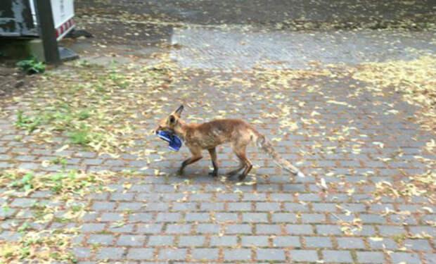 Лиса приходила в парк уносила с собой обувь отдыхающих. Через несколько месяцев работник парка за ней проследил