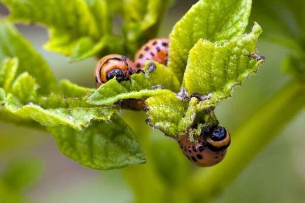 Биопрепараты против колорадского жука