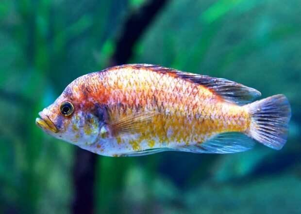 Цихловые аквариумные рыбки, животные, необычные рыбы, рыбы