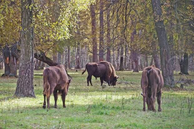 В гости к зубрам и бизонам