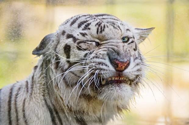 Эти забавные животные. (Tambako The Jaguar)