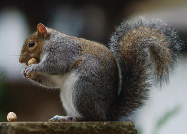 Ореховая паста с контрацептивами поможет британцам в борьбе с инвазивными белками
