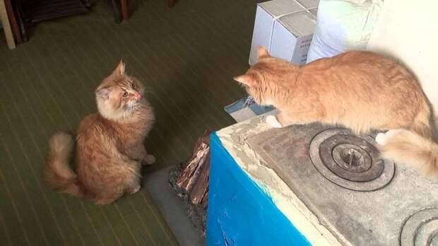 Каждый день рыжий кот выпрашивал в магазине мясо и куда-то относил