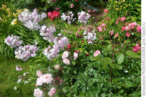 Ранние сорта флоксов цветут в одно время с розами. Фото автора