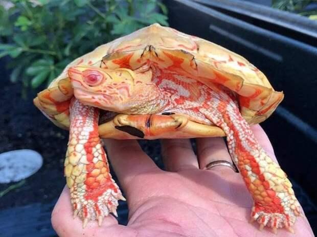 Удивительные черепахи-альбиносы похожи на инопланетные существа