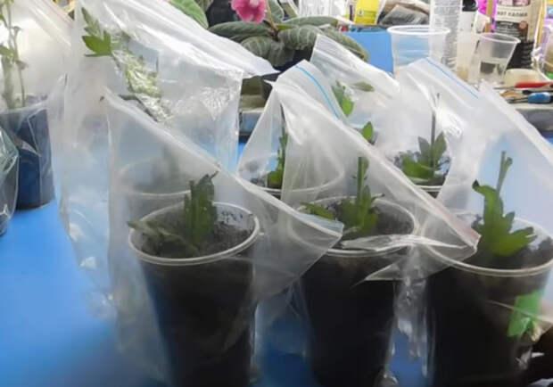 Простой способ укоренения хризантем из букета