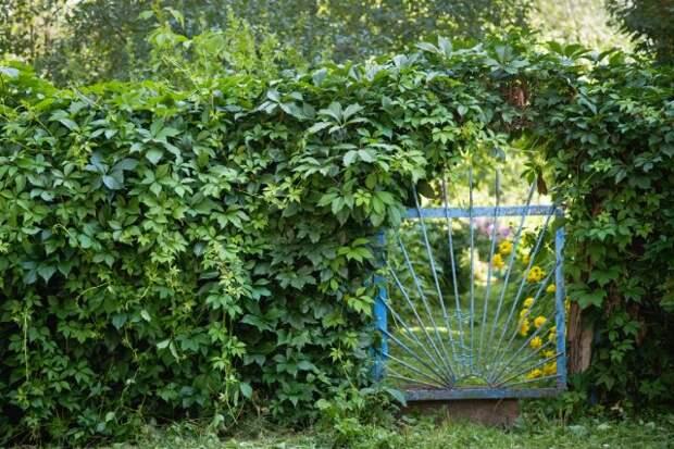 вертикальное озеленение от соседей