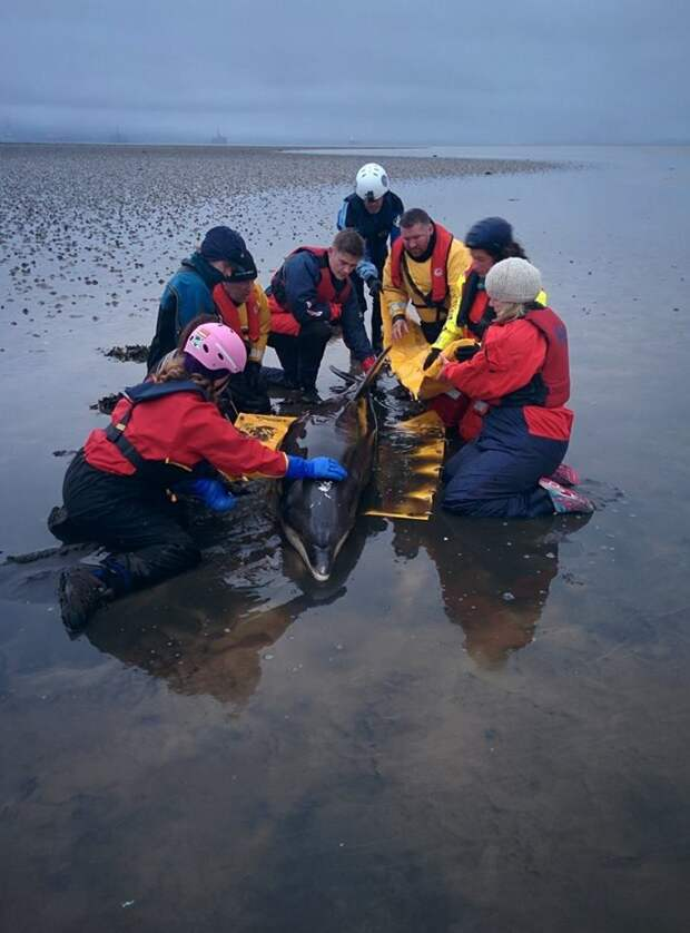 Пара быстро вызвала на помощь полицию, спасателей и специалистов из Шотландского общества по предотвращению жестокого обращения с животными дельфин, животные, спасение