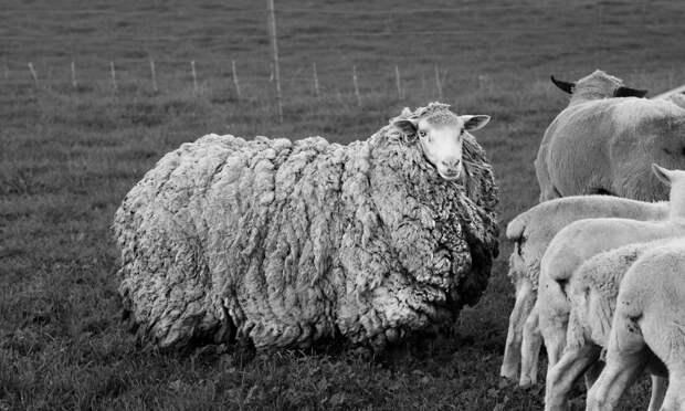 Вот как выглядит овца, которую не стригли 7 лет