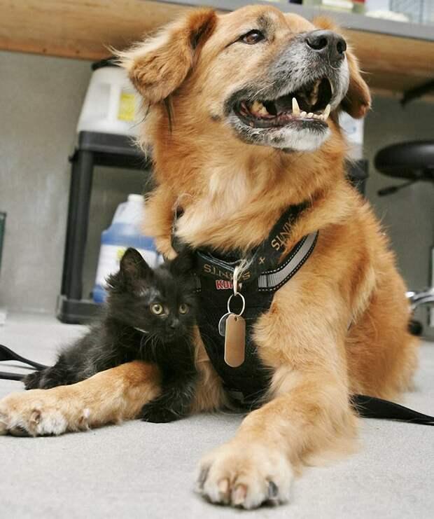 Пёс Бутс который работает кошачьей няней-9