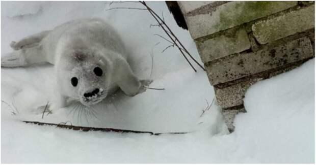 Зоологи спасли отбившегося от мамы тюлененка Гогланд, видео, животные, россия, санкт-петербург, спасение, тюлененок, тюлень