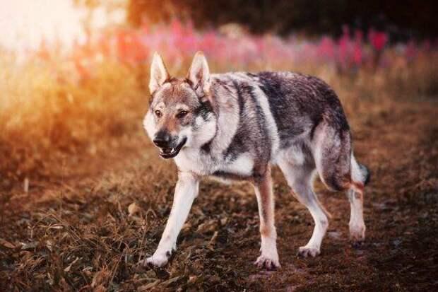 Чехословацкая волчья собака больших, бульдог, до маленьких, питомец, породы, собак, такса