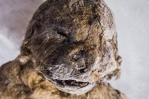 останки пещерного льва