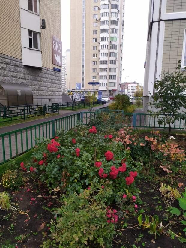 Розы на Кашенкином Лугу бросили вызов холодам