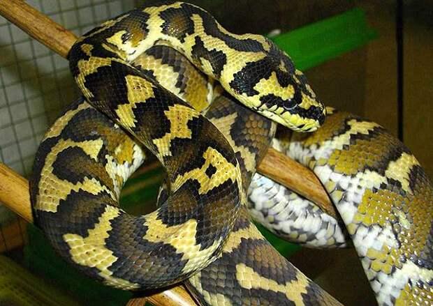 Сможете увидеть 1,8-метровую змею на этом фото?