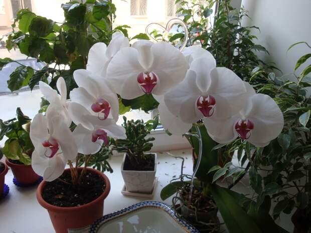 янтарная кислота для орхидей как разводить