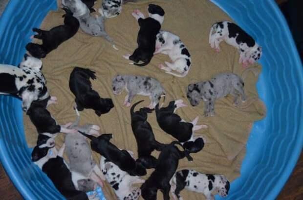 Мать-героиня!!! Немецкий дог Велма родила целых 19 щенят вместо 10…))