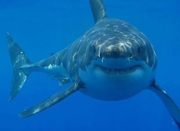 Самая большая акула акулы, факты, хищники