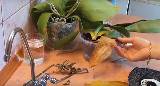 реанимация орхидей без корней над водой