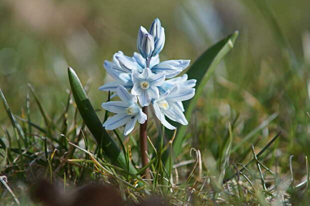 Пушкиния: изящный цветок со звучным именем