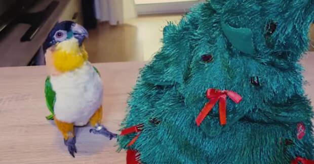 Предновогодняя драка попугая с ёлкой состоялась! Кто же победил – птичка или игрушка? :)