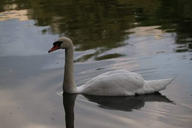 Лебеди в Лианозовском парке спасли подавившуюся жёлудем утку