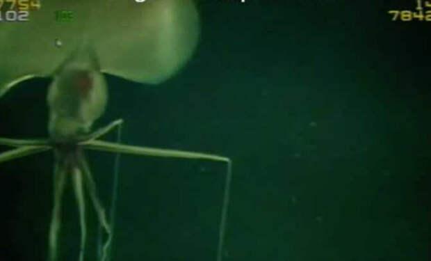 Подводный дрон нефтяников снял создание со щупальцами длиной в 10 метров: видео