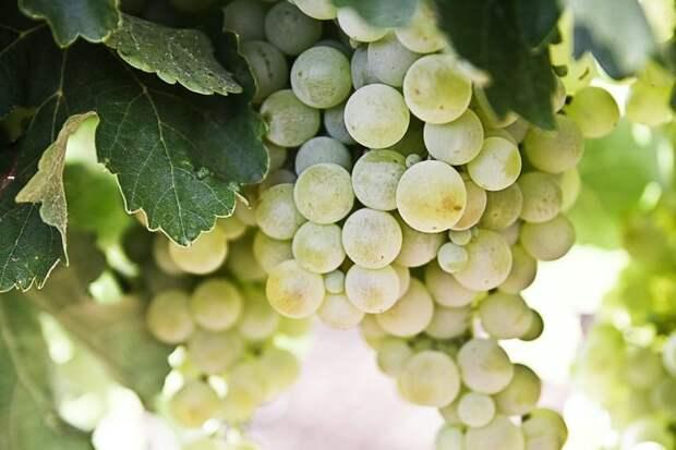 Виноградная диета: помогаетли очистить организм?