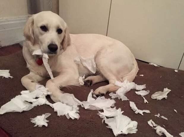 Зфиняйт, я по-вашему не панимайт! животные, натворили, сама невинность, смешно, собаки, хулиганство, честные глаза, юмор