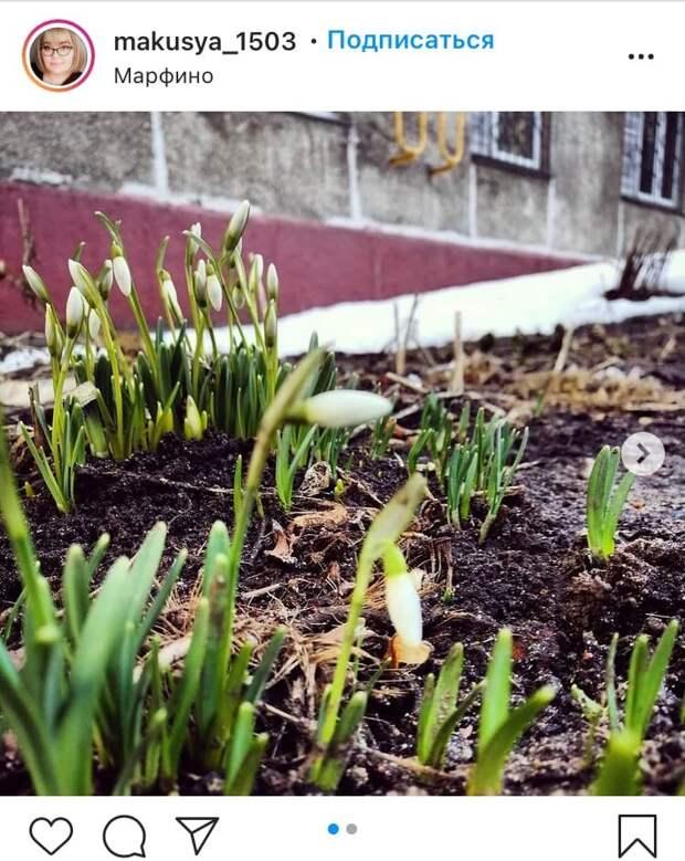 Фото дня: в Марфине распустились первые весенние цветы