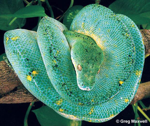 Зеленый питон (лат. Morelia viridis) 9