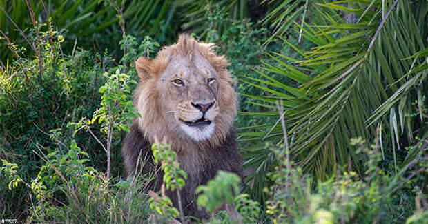 Огромный лев сначала напугал фотографа ревом - а потом стал ему улыбаться