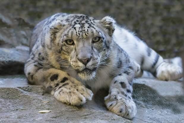 Снежный барс больше не является вымирающим видом