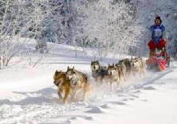 Собачьи упряжки стали видом транспорта в Дании