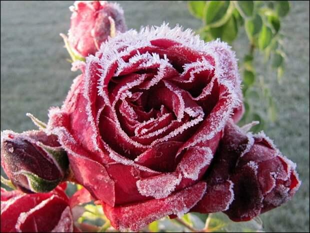 Спасаем розу от мороза: как правильно укрыть цветы на зиму