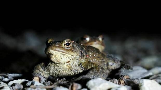 Как в Эстонии помогают размножаться лягушкам и даже перекрыли трассу