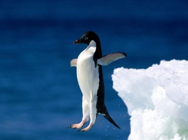 http://www.porjati.ru/uploads/posts/2010-12/thumbs/1291501074_pingvin.jpg