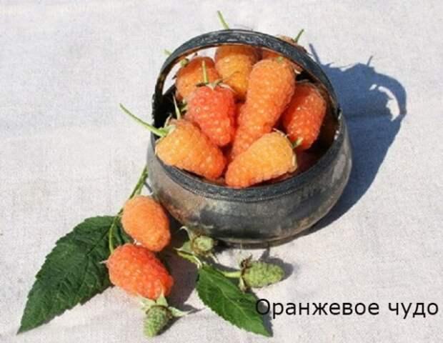 ремонтантная малина сорт оранжевое чудо