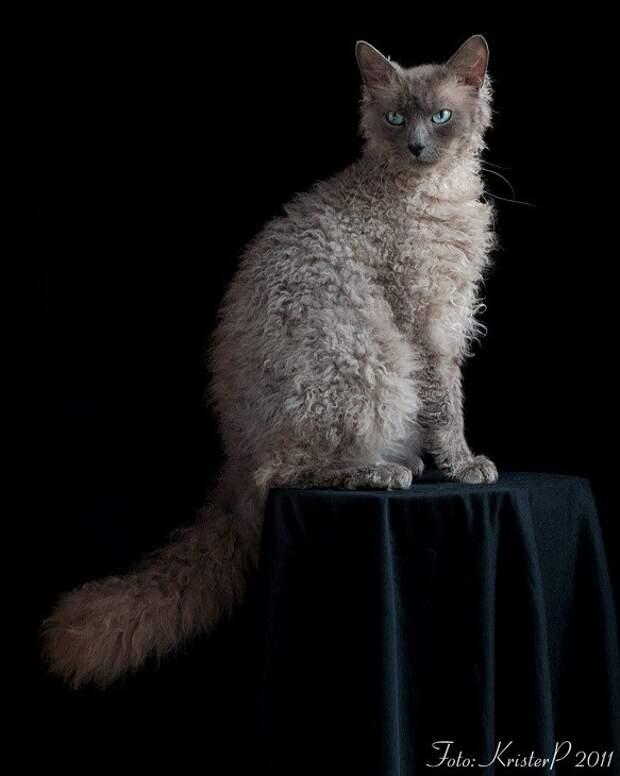 2 место. Лаперм домашние животные, кошки, породы кошек, самые редкие