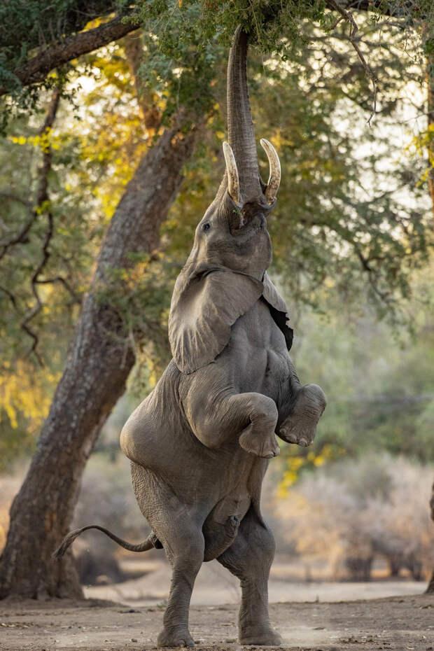 Слон демонстрирует чудеса акробатики ради сочных листьев