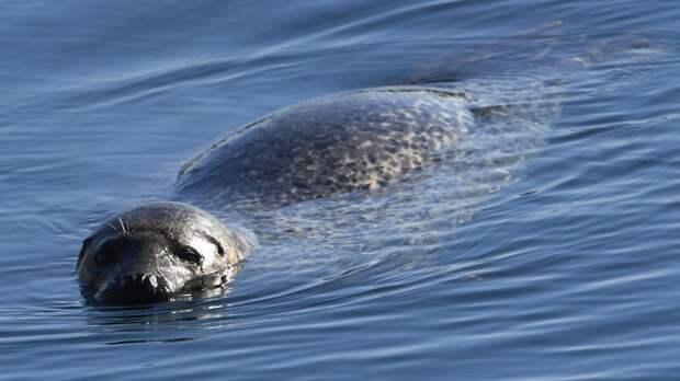 Коптер помог ученым подсчитать число живущих в нацпарке тюленей-ларг