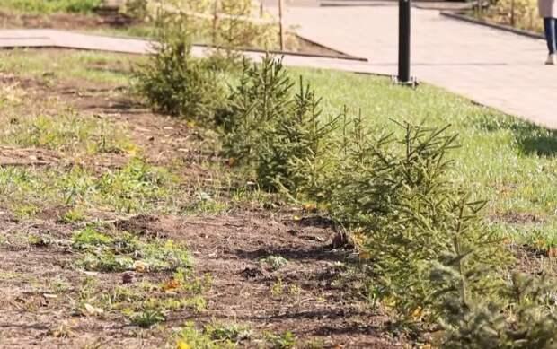 Вандалы украли голубые ели из сквера Первостроителей в Братске