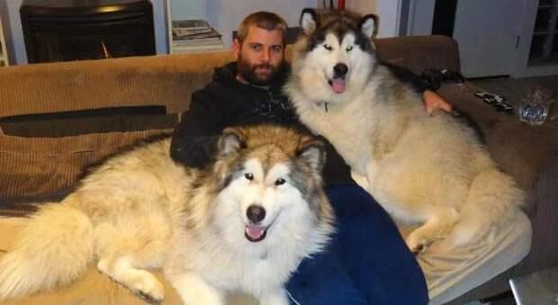 Знакомые убеждали мужчину, который хотел купить щенка, что хаски не вырастет большим, потому что его родители – не чистокровные