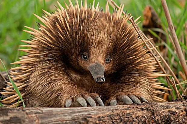 Ехидна: 5 интересных фактов о необычном животном из Австралии | Интересные  факты, Животные, Факты