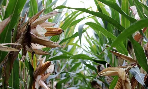 Кукурузу снова будут выращивать наСевере