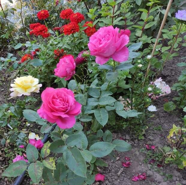 Пенсионер из Бабушкинского превратил свой огород в розарий