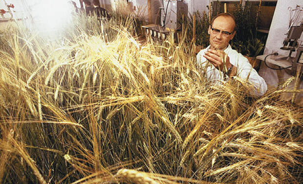 Безотходная пшеница для космического огорода