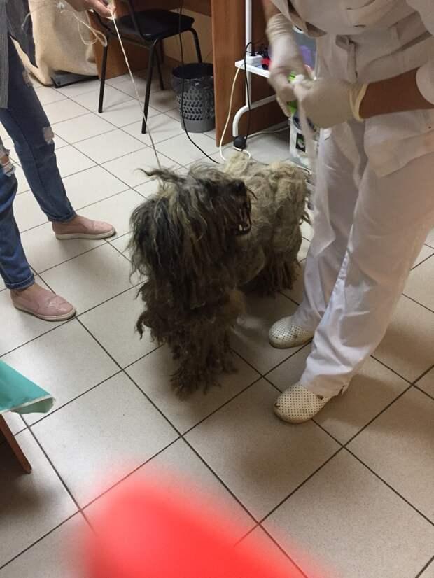 Заросшее колтунами существо оказалось прекрасной собакой история, миттельшнауцер, порода, пудель, собака, эрдельтерьер