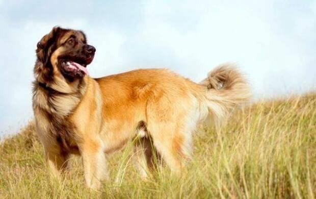 Леонбергер больших, бульдог, до маленьких, питомец, породы, собак, такса