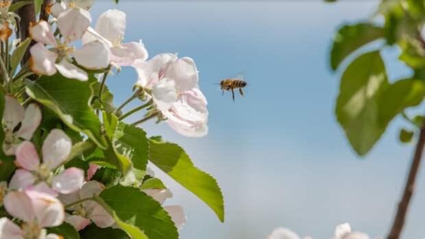 Экспериментальный яблоневый сад впервые расцвел в Крыму